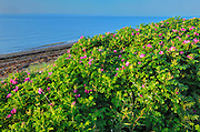 Roses along the Gulf of St. Lawrence<br /> Iles-aux-Coudres<br /> Quebec<br /> Canada