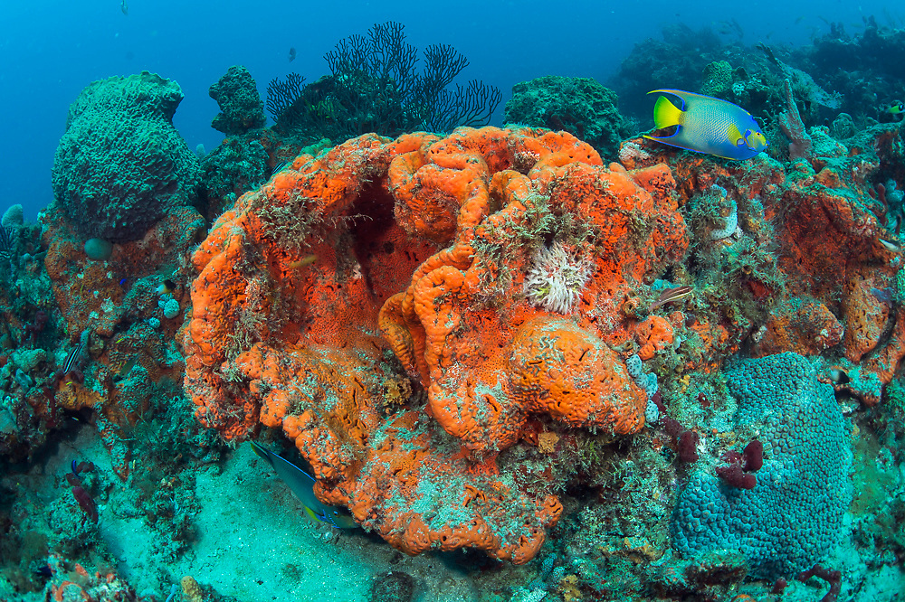 A Queen Angelfish, Holacanthus ciliaris, swims past an Elephant Ear Sponge, Agelas clathrodes, on the Breakers Reef offshore Palm Beach, Florida, United States.