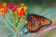 Queen butterfly (Danaus plexippus) on Mexican Milkweed