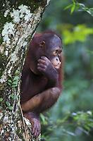 Young Orangutan, Pongo pygmaeus, Sabah, Malaysia