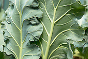 Sea Kale, Cranbe maritima, in organic vegetable garden in Oxfordshire UK