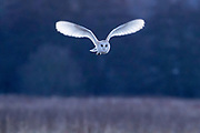 Barn owl (Tyto alba) in flight. Papercourt Water Meadows, Surrey, UK.