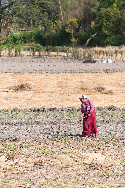 A woman at work in the fields. 66% of the Nepali population work in agriculture and it provides approximately 33% of GDP. Nepal remains one of the poorest countries in Asia with a per capita GDP of $562.