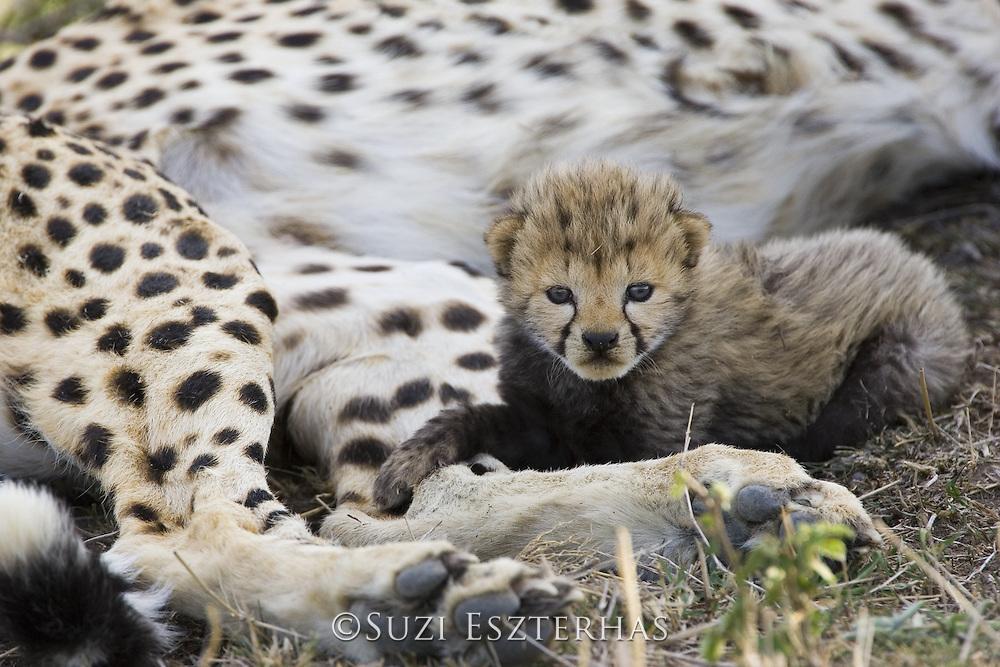 Cheetah<br /> Acinonyx jubatus<br /> 16 day old cub resting on mother<br /> Maasai Mara Reserve, Kenya