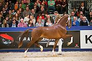 Indiana Kampioen KWPN Hengstenkeuring Tuigpaarden<br /> KWPN Hengstenkeuring 2016<br /> © DigiShots