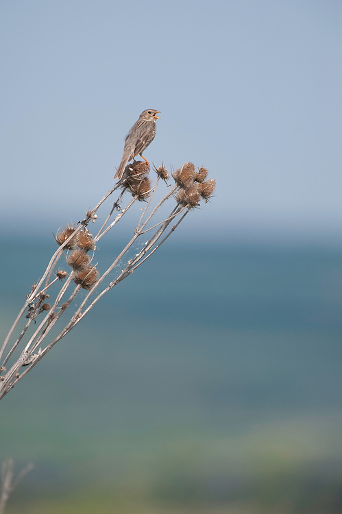 Corn Bunting {Emberiza / Miliaria calandra) in durea Domnesca National Park Moldova