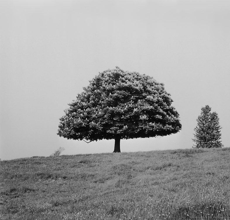 Trees, England, 1945