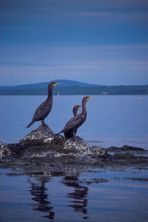 Double Crested Cormorants (Phalacrocorax auritus), Castine, Maine, US