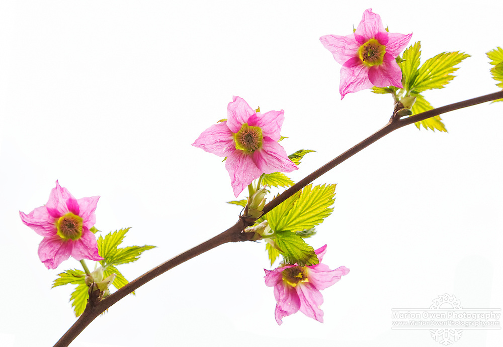 A sprig of salmonberry blossoms against white sky