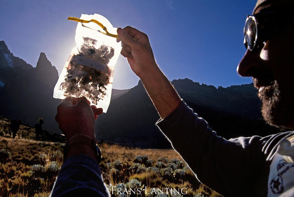 Scientist with ice sample containing red algae, Mt Kenya National Park, Kenya