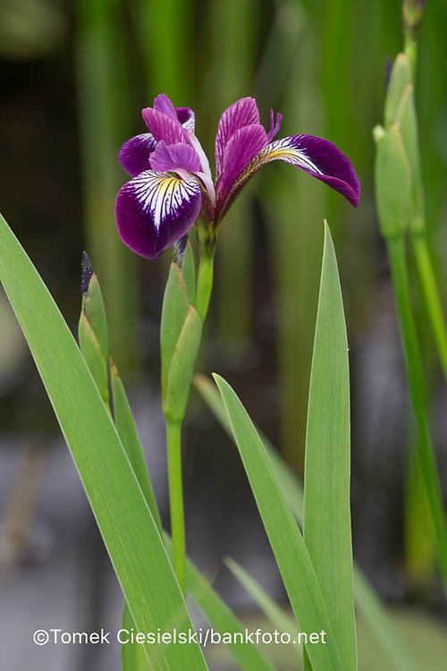 Iris versicolors 'Kermesina'