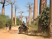 Africa, Madagascar, Morondava, Grandidier's Baobab (Adansonia grandidieri) Avenue. This tree is endemic to the island