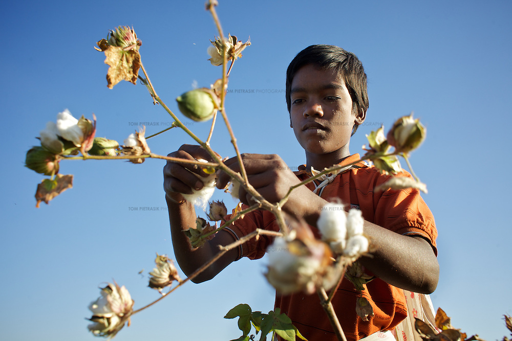 Amol Sonavane, age 13, from Chitalwadi village, harvests cotton a field that is owned by his family. ..Photo: Tom Pietrasik.January 2011.Maharashtra, India