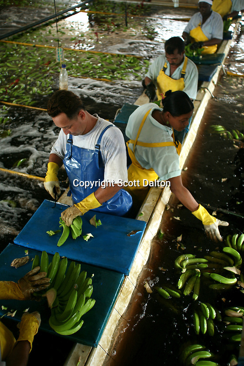 Workers cut and wash freshly picked bananas at a Banacol packing plant just outside of Apartado on Thursday, August 23, 2007. (Photo/Scott Dalton).