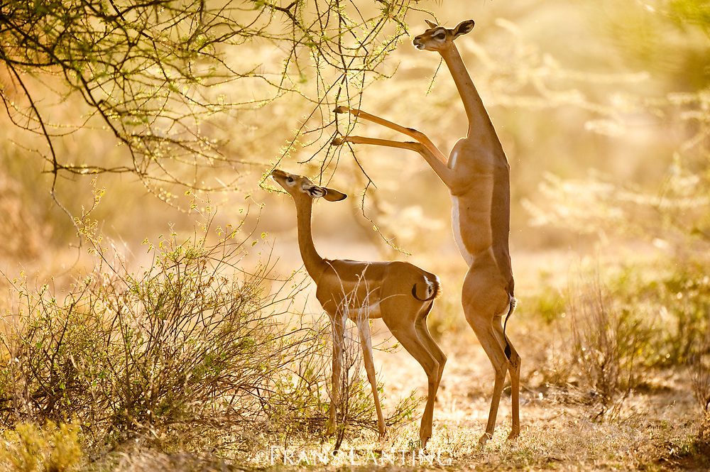 Gerenuks foraging, Samburu National Reserve, Kenya