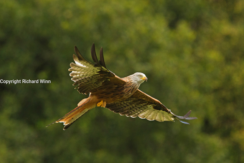 A red kite (Milvus milvus) flying past the hides at the Gigrin Farm feeding station, with outstretched wings.