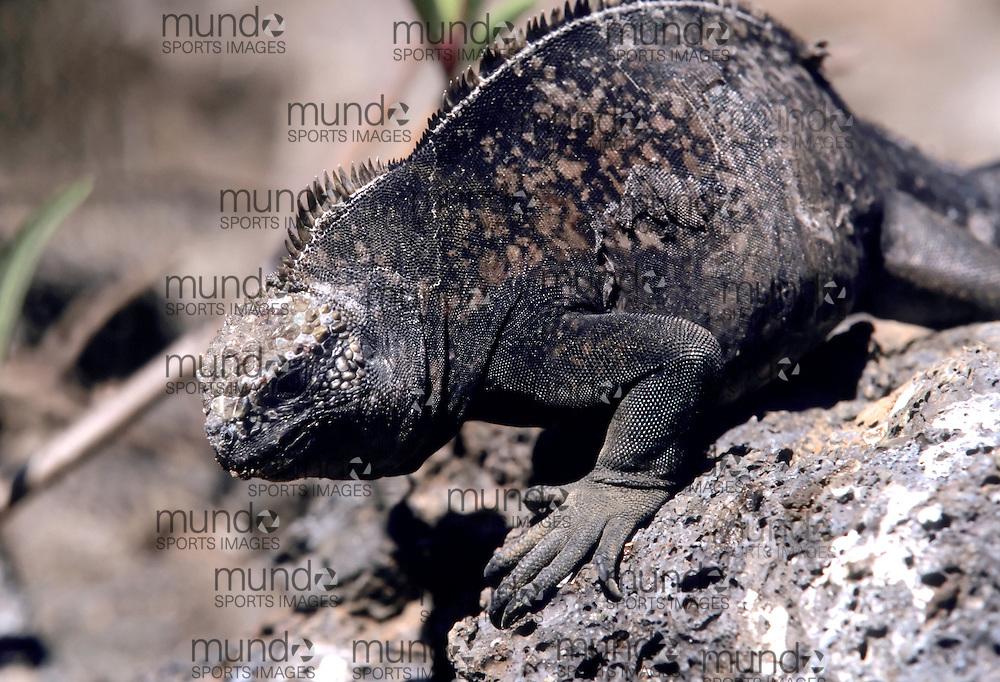 A marine iguana (Amlyrhynchus cristatus) walks over a rock on Genovesa Island in the Galapagos Islands of Ecuador.
