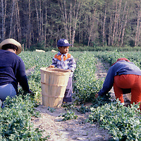 A young boy stands by a bushel basket as two adults carry on their work in the field in Queen Anne's County, Maryland in 1981.