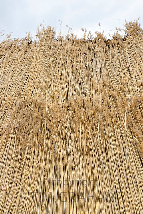 Stooks of reeds / rushes for thatching a new roof traditional method on thatched cottage at Fano Island, Denmark