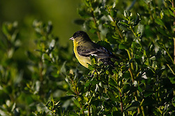 Lesser Goldfinch (Carduelis psaltria), Palo Alto Baylands, Palo Alto, California, United States of America