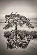 Black-and-white photograph of a cypress tree along the Duck boardwalk in the Outer Banks of North Carolina.