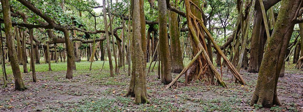 Inde, Bengale Occidental, Calcutta (Kolkata), jardin Botanique, le grand Banian dez Howrah est le plus grand Banian au monde // India, West Bengal, Kolkata, Calcutta, Botanical garden, Howrah Banian tree, biggest banian in the world