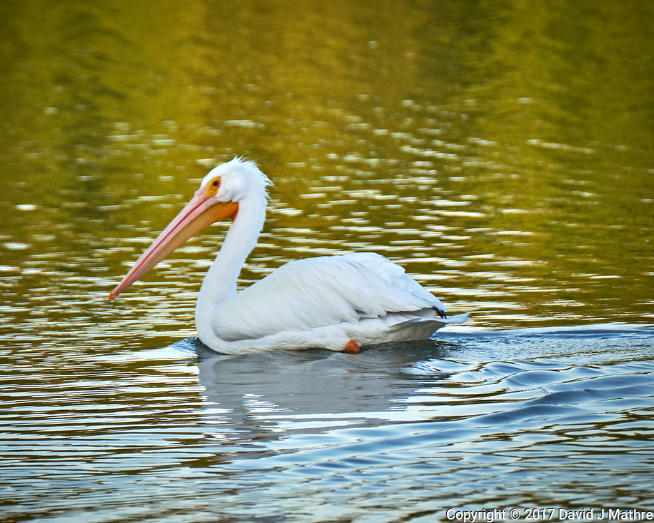 American White Pelican in the water at Fort De Soto Park. Pinellas County, Florida Image taken with a Fuji X-T2 camera and 100-400 mm OIS lens (ISO 200, 400 mm, f/5.6, 1/200 sec).