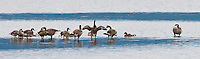 Canada geese (Branta canadensis) adults and goslings stand in shallow water at the entrance to Big Beef Creek in the Hood Canal of Puget Sound, Washington, USA panorama