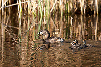 A Pied Billed Grebe travels across a northern Utah marsh pond with its young close behind!