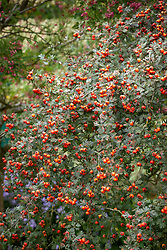 The berries of Crataegus orientalis syn. Crataegus laciniata (Hawthorn)