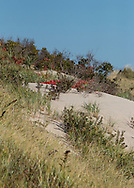 A variety of plants grow in, and help stabilize, the dunes.  Among those in this picture are American beach grass, goldenrod, woodbine, beach plum, and bayberry.