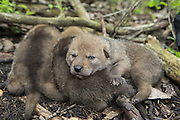 Coyote <br /> Canis latrans<br /> Three-week-old pups huddled together awaiting examination by wildlife researchers of the Cook County Coyote Project<br /> Chicago, Illinois