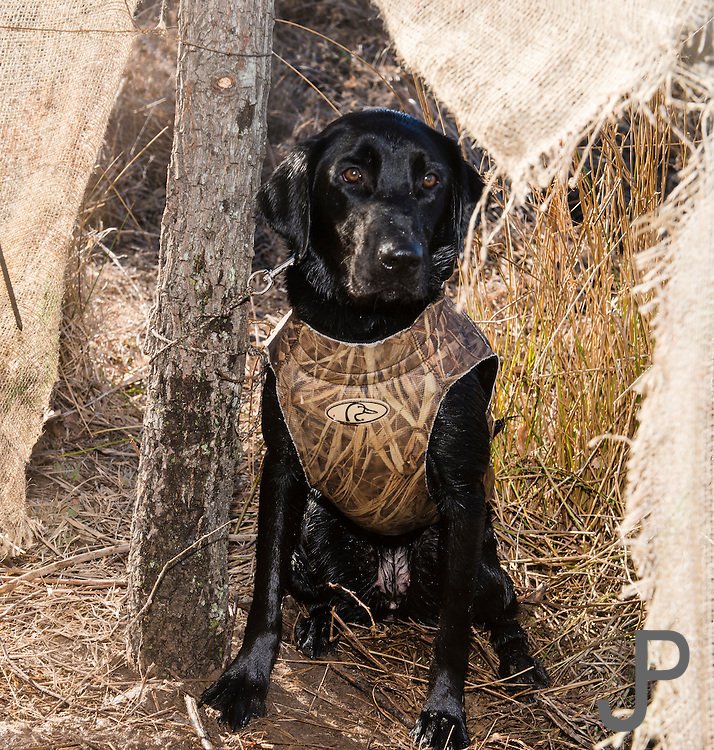 """Two year old black lab """"Ellie"""" watching for ducks while hunting near Shamrock, Oklahoma"""