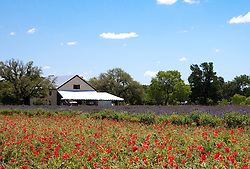 Red poppies and rows of lavender are colorful crops at Becker Vineyards in Stonewall, Texas.