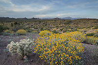 Sonoran desert featuring Brittlebush (Encelia farinosa) and Jumping Cholla (Cylindropuntia fulgida), Superstition Mountains, Arizona