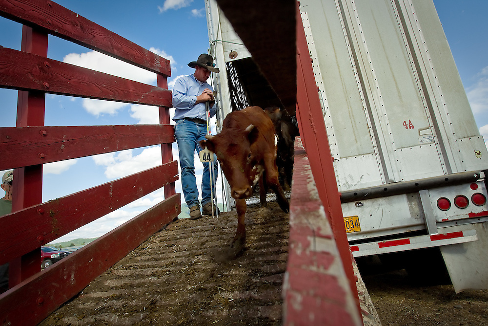 Carl Stacy helps unload cattle used at the North Idaho Rodeo from a trailer Friday.