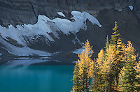 Subalpine larches (Larix lyallii) in autumn, Floe Lake, Kootenay National Park British Columbia