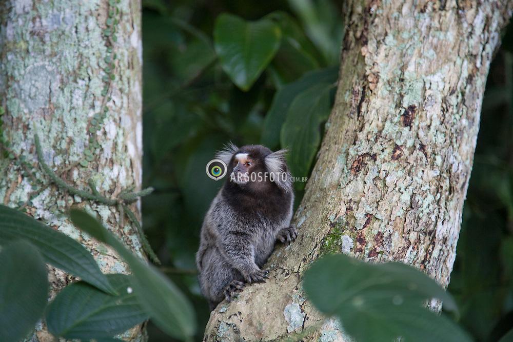 Sagui em seu habitate, Parque Laje, Rio de janeiro.// Sagui in their habitat, Parque Laje, Rio de janeiro. Marcos Issa - RJ - 2009