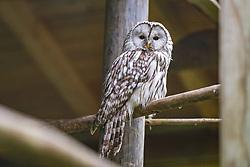 THEMENBILD - ein Waldkauz im Wildpark Ferleiten, aufgenommen am 29. April 2018 in Taxenbacher-Fusch, Österreich // a tawny owl at the Wildlife Park, Taxenbacher-Fusch, Austria on 2018/04/29. EXPA Pictures © 2018, PhotoCredit: EXPA/ JFK