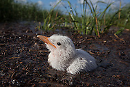 Common tern chick in the grass on a barrier island in Barrataria Bay in Plaquimens Parish, Louisiana, as tide rises. The barrier islands in the Gulf of Mexico are threaten by coastal erosion that was sped up  since  the BP oil spill which killed the grass and mangrove trees which hold the islands together. Plaquimens Parish started it's own coastal restoration projecta for island with  bird rookeries on them ahead of the  Restore the Coast Act for fear there would be too little of the island left to save.