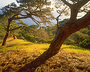 0603-5005 ~ Copyright: George H.H. Huey ~ Endemic Torrey pines [Pinus torreyana insularis] above Becher's Bay.  Channel Islands National Park, California.