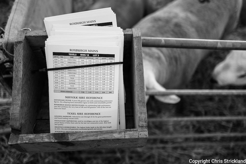 Border Union Show Ground, Kelso, Scottish Borders, UK. 8th September 2016. Kelso Ram sales is the largest single day sale of its kind globally. The 2016 sale, to be held on Friday, will auction 5145 rams, some of which will fetch several thousand pounds.