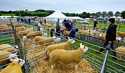 Biggar, South Lanarkshire, Scotland 23 July 2016<br /> <br /> Penned Texel sheep waiting to be shown.<br /> (c) Andrew Wilson | Edinburgh Elite media