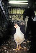 usine de poulets