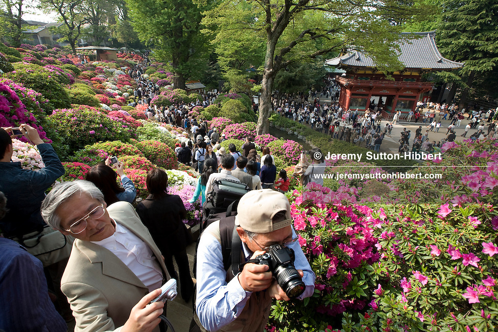 """'Tsutsuji' (azaleas) festival at Nezu shrine, where more than 50 types of azaleas are on bloom, from end of April until mid-May.  Tokyo, Japan. 2008. Top right of image is the Nezu Shrine Karamon Gate, classed as an """"Important Cultural property of Japan""""."""