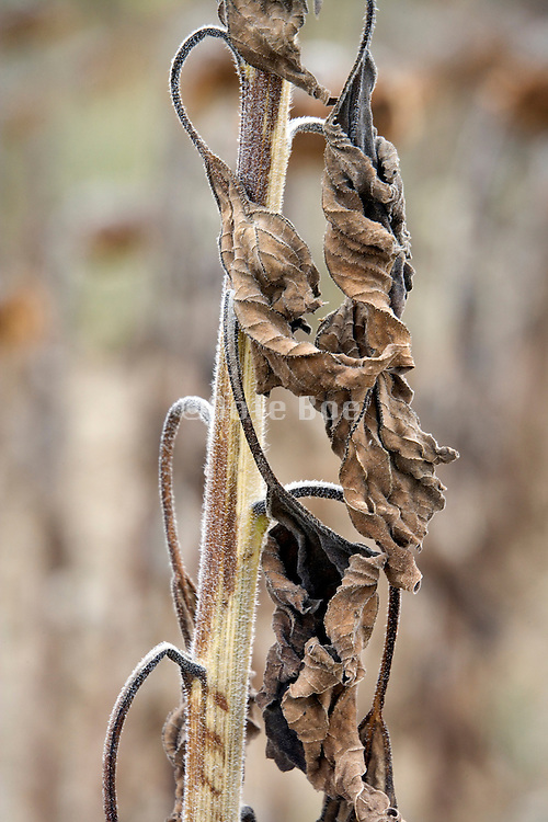 drying leaves of ripening sunflowers in the field