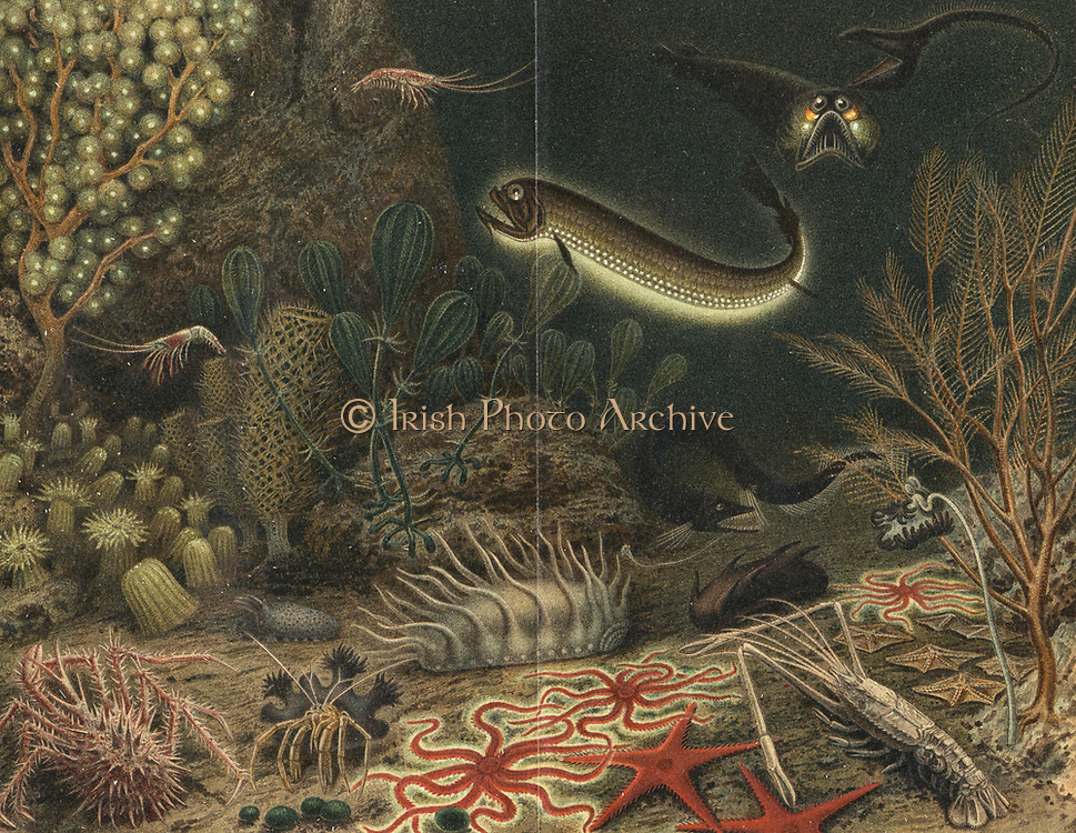 Artist's impression of deep sea scene with luminous fishes.  Some of the creatures shown here were brought up in the dredges during the French oceanographical expeditions of the 'Travailleur' c1880, including Eurypharynx pelecanoides (top right). Henri Milne-Edwards (1800-1885). From 'Die Naturkrafte', M Wilhelm Meyer (Leipzig, 1903). Chromolithograph.