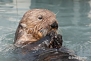sea otter, Enhydra lutris ( Endangered Species ), eating mussel, Valdez, Alaska ( Prince William Sound )
