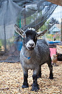 Naomi's Organic Farm Supply is a family-owned shop with a wide range of organic products including: soil amendments and fertilizer, seeds, straw, hay, compost, potting soils, livestock feeds, salts, supplements, chicken supplies, pet foods, hand tools & lots of books.  Here is one of the resident pygmy goats named Nellie.