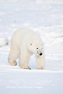 01874-12101 Polar Bear (Ursus maritimus) in winter in Churchill Wildlife Management Area, Churchill, MB Canada